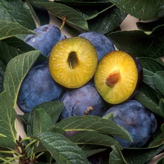 Cut open yellow plum-like fruit with pit, purple fruits around, dark green leaves.