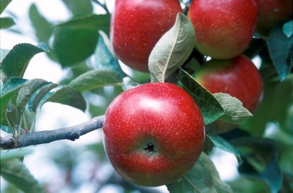 Red apples clustered on branch with veiny leaves.