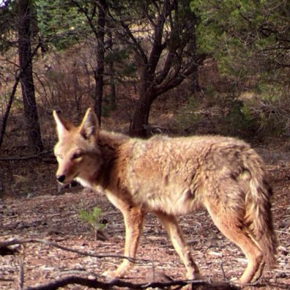 Coyote looking to side with trees behind.