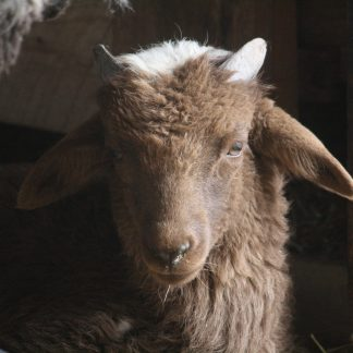 A sheep with brown fur and small horns looking forward.